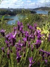 lavender everywhere