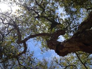 gorgeous cork oak