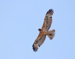 Juvenile_Bonelli's_eagle